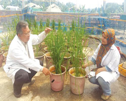 Innovation in mutant Mashuri paddy variety